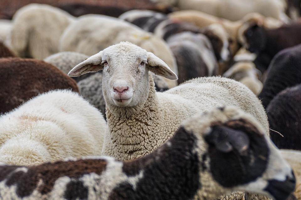 sheep-4810513_960_720